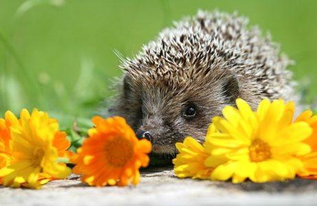 hedgehog-1537791_640